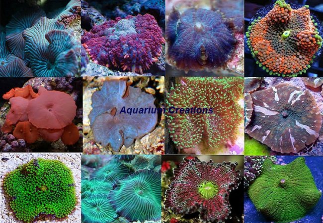 Picture of Nano Mushroom Coral Pack