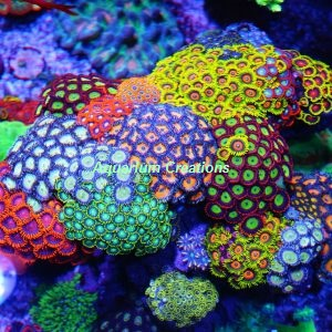 Picture of Zoanthid & Palythoa Coral Package