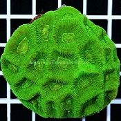 Picture of Aussie Alien Moon Brain Coral