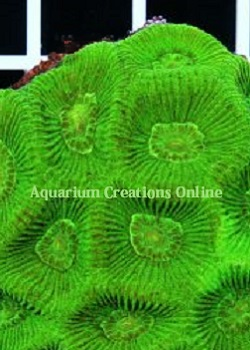 Picture of AussieNeon Green Goniastra Coral