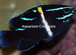 Picture of Neon Velvet Damselfish