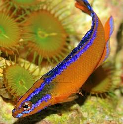 description neon dottybacks are a beautiful orange color with neon ...
