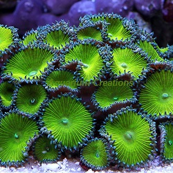 Picture of Aquacultured Nuclear Green Palythoa