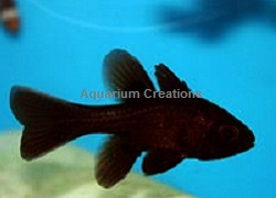 Picture of Captive Bred Black Cardinal Fish, Apogonichthyoides melas