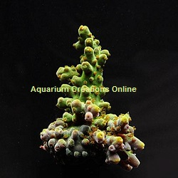 Picture of Frogskin Table Acropora, Aquacultured ORA®