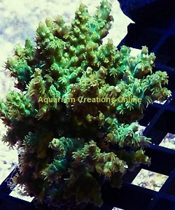 Picture of Marshall Island Green Fuzzy Acro, Aquacultured by ORA®