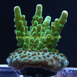 Picture of ORA Green Velvet, Aquacultured by ORA®