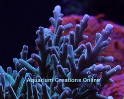Picture of Captive Grown Acropora corals by ORA, they are the future of the reef aquarium hobby.