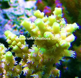 Picture of Aquacultured Yellow Fuzzy Acropora, by ORA®