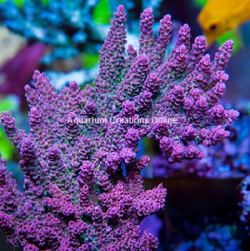 Picture of Red Planet Acropora Coral, Aquacultured ORA®
