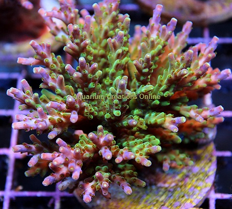 Picture of Verde Acropora, Aquacultured by ORA®