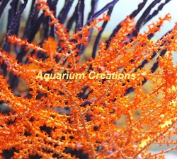 Picture of Orange Tree Gorgonian
