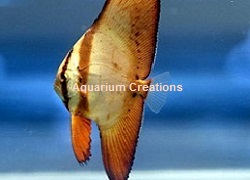 Picture of Orbiculate Batfish