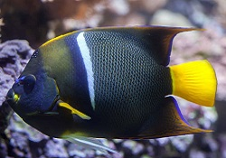 Picture of Adult Passer Angelfish, Holacanthus passer