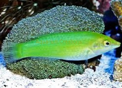 Picture of Pastel Green Wrasse, Halichoeres chloropterus