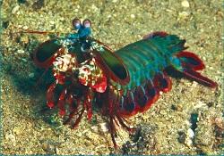 Picture of Peacock Mantis Shrimp, Odontodactylus Scyllarus
