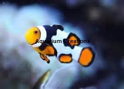 Picture of Picasso Clownfish