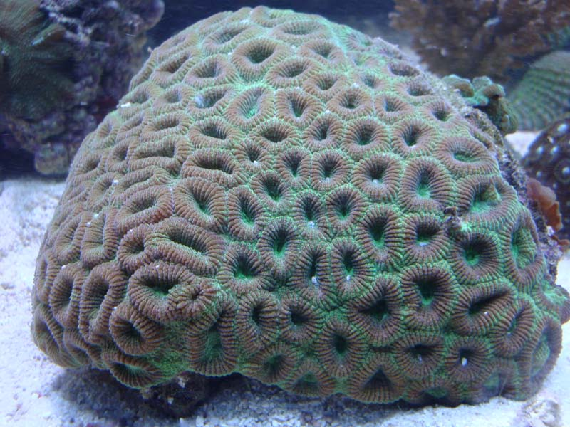 brain coral drawing - photo #38