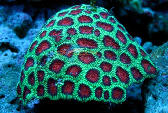 Lps Coralslarge Polyp Stony Coralsaquarium Creations Online
