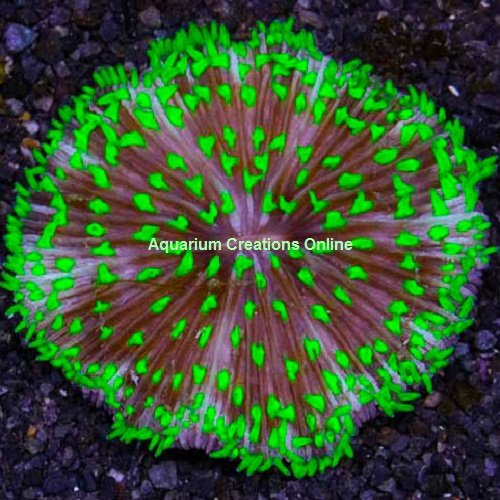 Picture of Pinwheel Plate Coral from Australia