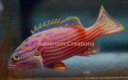 Picture of Polleni Grouper