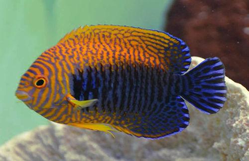 Potter S Angelfish Dwarf Angel Saltwater Aquarium Fish For Marine Aquariums