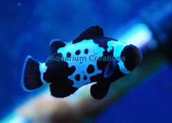 Picture of Bullet Hole Black Snowflake Clownfish