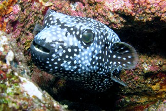 Arothron meleagris hawaii and africa for Types of puffer fish