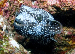 Picture of Blue/White Female Arothron Puffer