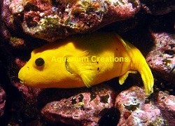 Picture of Golden Male Arothron Puffer