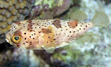 Diodon holocanthus for Puffer fish for sale
