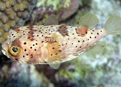 Picture of Porcupine Puffer Fish
