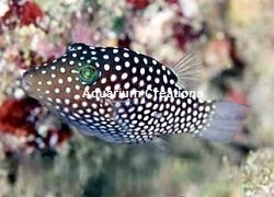 Picture of Spotted Puffer