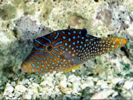 Saltwater Pufferfish