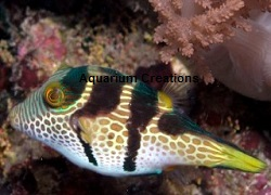Picture of Saddle Valentini Puffer