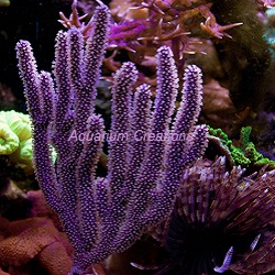 Picture of Purple Candelabra Sea Fan