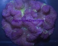 Picture of Purple Carpet Anemone