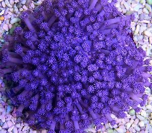 Lps coralslarge polyp stony coralsaquarium creations online descriptionthe purple flower pot coral is a large polyp stony lps coral often referred to as ball daisy or sunflower coral the flower names refer to mightylinksfo Choice Image