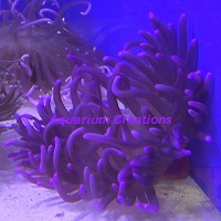 Picture of Purple Long Tentacle Anemone