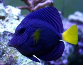 Tangs Surgeonfish Unicornfishes