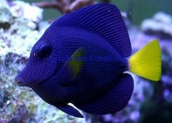 Picture of Purple Tang,Zebrasoma xanthurus (Red Sea)