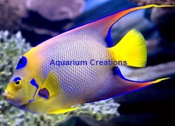 Picture of Queen Angelfish
