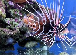 Picture of Radiata Lionfish