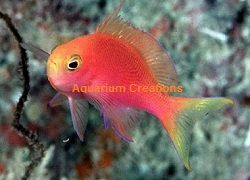 Picture of Randall's Anthias