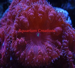 Picture of Aquacultured Big Polyp Bright Red Blastomussa Wellsi