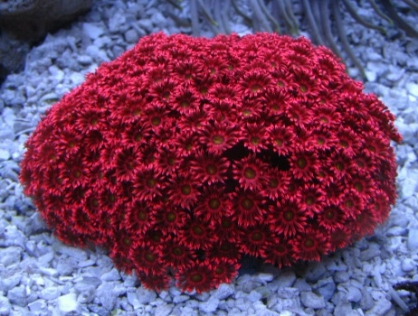 Lps coralslarge polyp stony coralsaquarium creations online descriptionthe metallic red flower pot coral is a large polyp stony lps coral often referred to as ball daisy or sunflower coral mightylinksfo