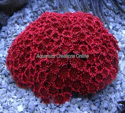 Picture of Red Flower Pot Coral, Goniopora sp.