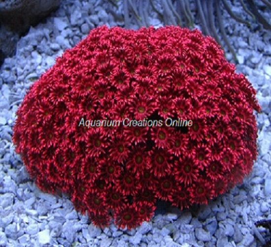 Picture of Red Flowerpot Coral, Red Goniopora Corals