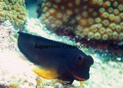 Picture of Horseface Blenny, Ophioblennius atlanticus