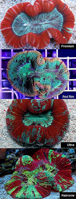 Picture of Aussie Red Open Brain Coral